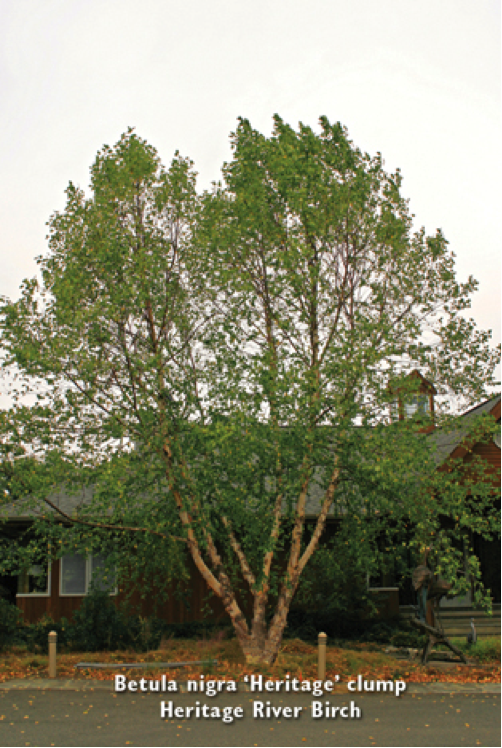 Heritage River Birch 'Cully'