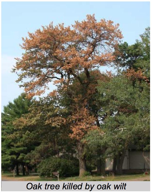 Oak Tree with Oak Wilt