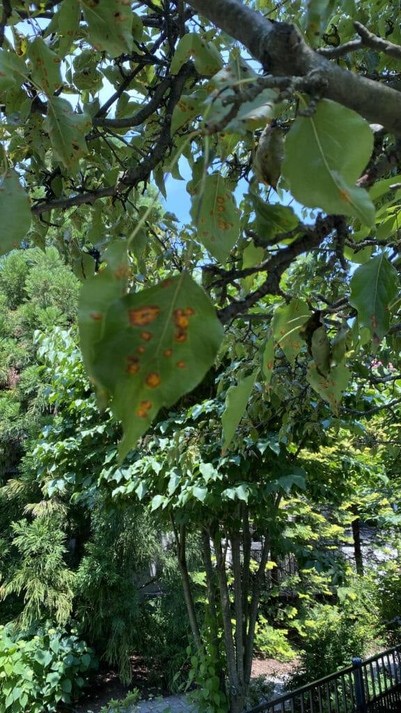 Orange fruiting bodies of rust on pear